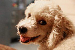 dog-pet-poodle-1784641